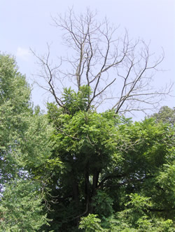 Walnut tree affected by thousand cankers disease