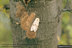 Female gypsy moth with egg masses
