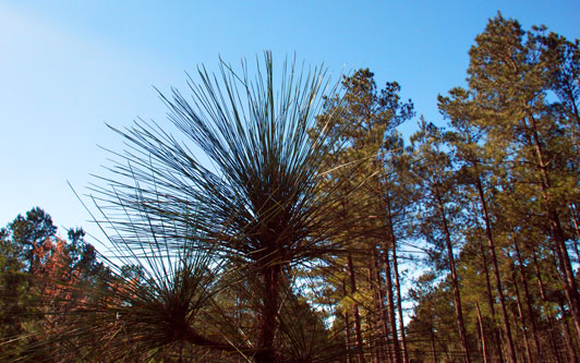 Picture of Longleaf Pine